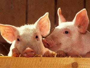 «Знаменский СГЦ» получил разрешение на экспорт свинины во Вьетнам